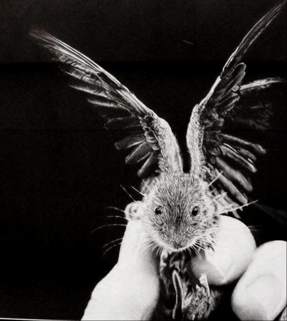 owl mouse jono dry photorealistic pencil illustratins