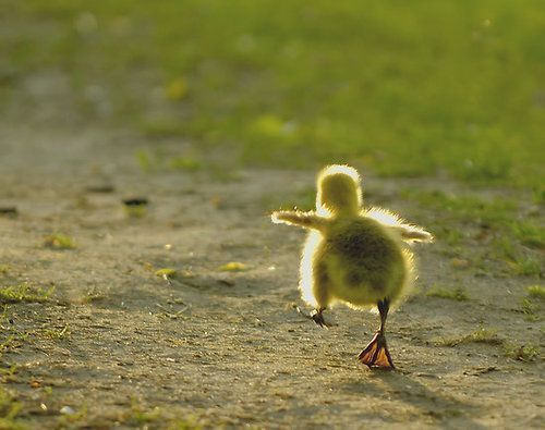 A cute and inspirational photograph of a tiny little duckling making its way in the world