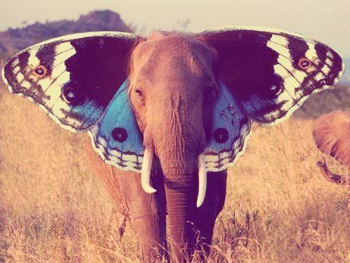 elephant butterfly ears photoshop animal hybrid beautiful inspiration nature animal