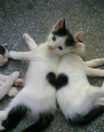 two kittens one heart cute romance love cats animals pets sweet relationship love