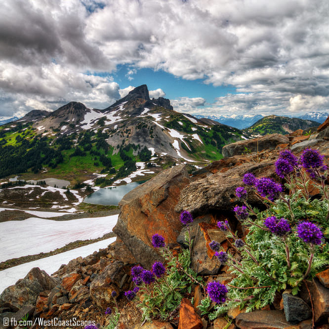 purple flowers blotchy mountains snowy peaks nature landscape photography art prints for sale buy online