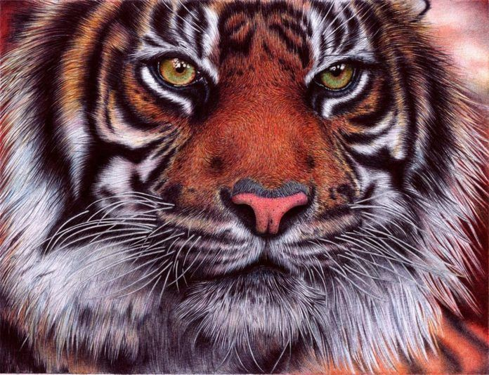 A photorealistic drawing in ballpoint pen by Samuel Silva of a green eyed tiger cat