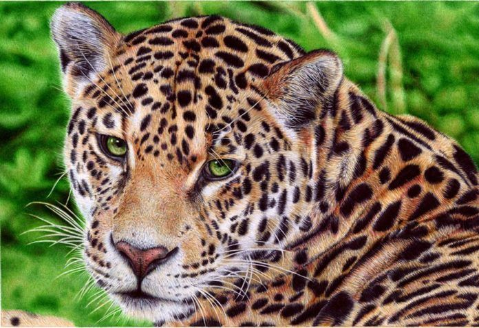 A photorealistic drawing in ballpoint pen by Samuel Silva of a jaguar cat