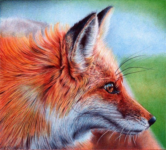A photorealistic drawing in ballpoint pen by Samuel Silva of a red fox vixen