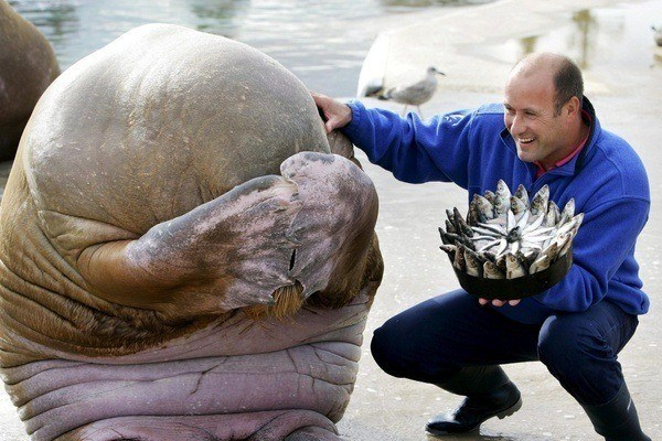 A walrus hides its face in embarrassment after getting a birthday cake made of fish