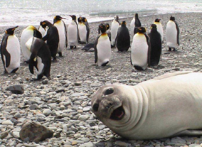 A cute and funny wildlife picture of a seal photobombing a bunch of penguins