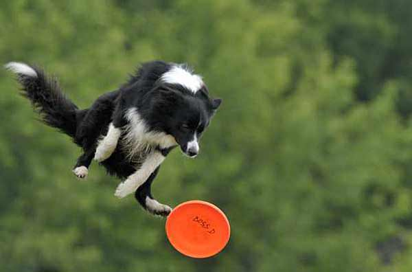 A funny picture of a border collie jumping to catch a frisbee