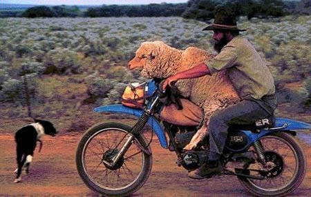 Funny picture of a farmer on a motorbike with a sheep