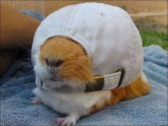 A funny picture of a hamster stuck in a peak cap