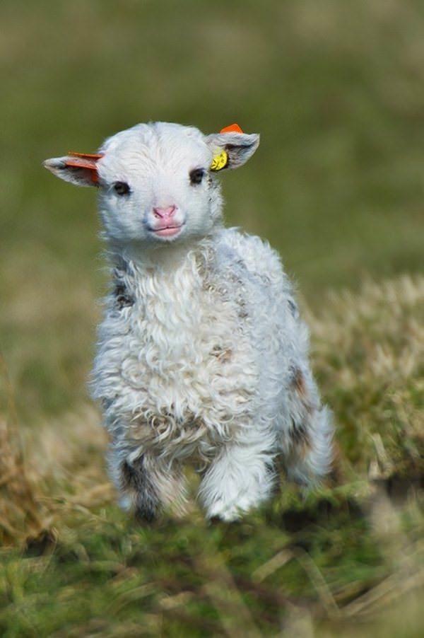 A seriously cute lamb