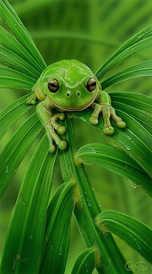 Perfect moment caught on camera of a green frog on a green leaf