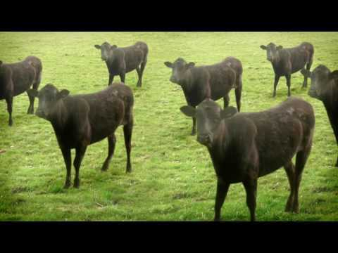 Crazy Dancing Cows Get 20 Million Views On Youtube