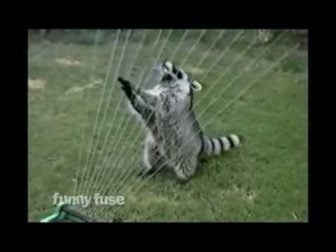 Raccoon Plays a Sprinkler Harp