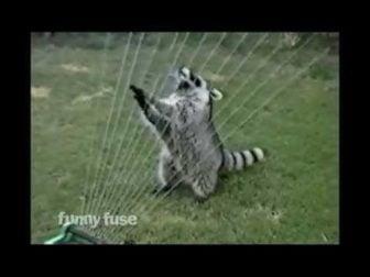 Raccoon Plays a Sprinkler Harp