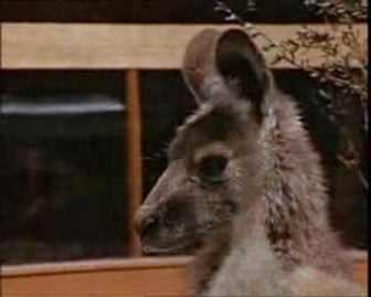 Skippy the Bush Kangaroo: Australia's Favorite TV Animal