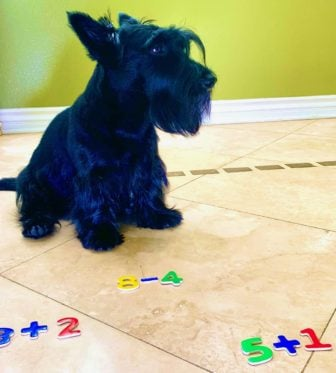 Handsome Stewie the math dog is a Scottish terrier who can count and do addition and subtraction