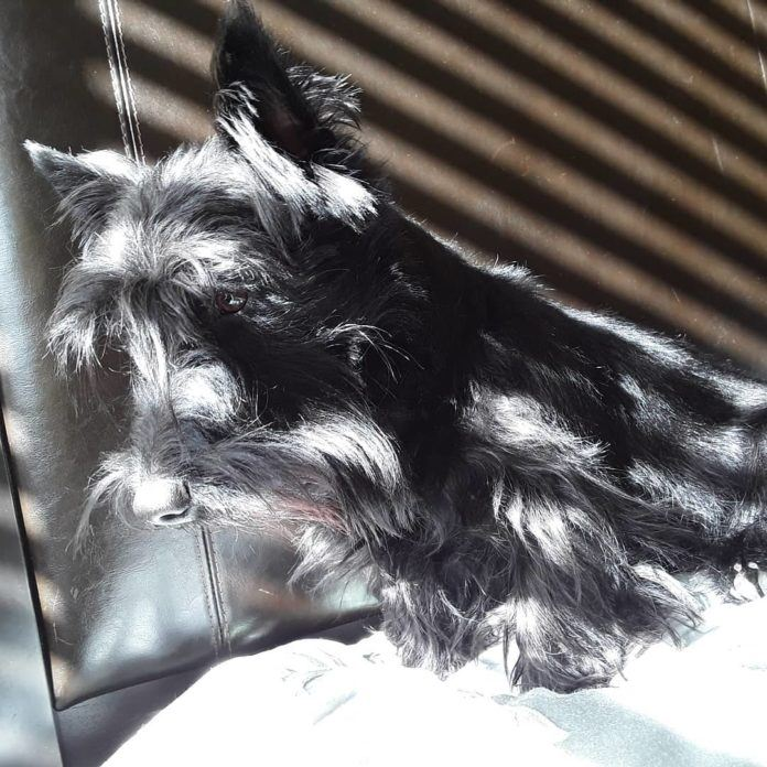 Like all Scotties, Stewie the math dog enjoys a spot of sunshine for some introspection and relaxation