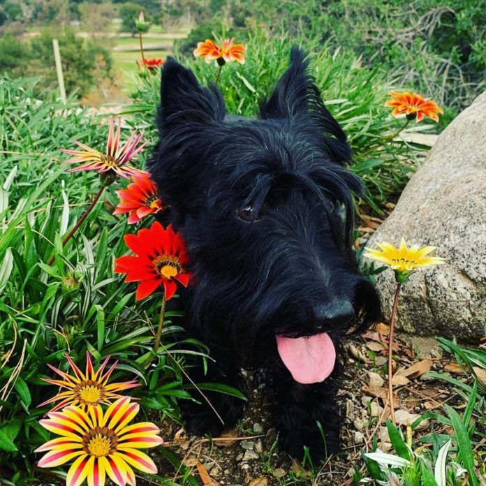 Stewie is a super clever Scottish Terrier who likes to do math, play on the beach and sit among the flowers in Californian gardens
